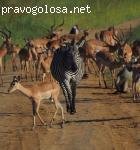 Сафари-Занзибари - организация сафари в Африке отзывы